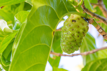 miracle healer noni fruit by Patrick Bennett